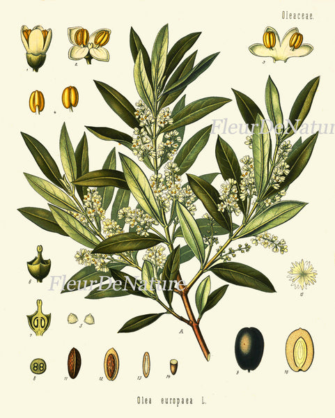 Olive Botanical Art Print Kohler Herb 8x10 Art 13 Beautiful Antique Vintage Olives Tree Chart Italy Italian Cooking Book Plate Wall Decor