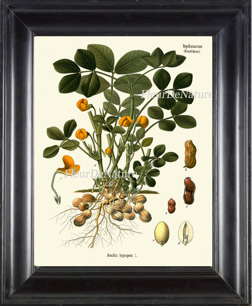 Peanut Botanical Art Print Kohler Herb 8x10 Art 20 Beautiful Antique Peanuts Nut Plant Chart Cooking Book Plate Illustration Room Wall Decor