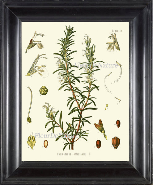 Rosemary Botanical Art Print Kohler Herb 8x10 Art 15 Beautiful Antique Vintage Plant Seeds Chart Cooking Book Plate Home Kitchen Wall Decor