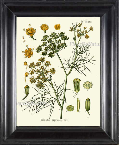 Fennel Botanical Art Print Kohler Herb 8x10 Art 11 Beautiful Antique Vintage Plant Seeds Chart Cooking Book Plate Home Kitchen Wall Decor