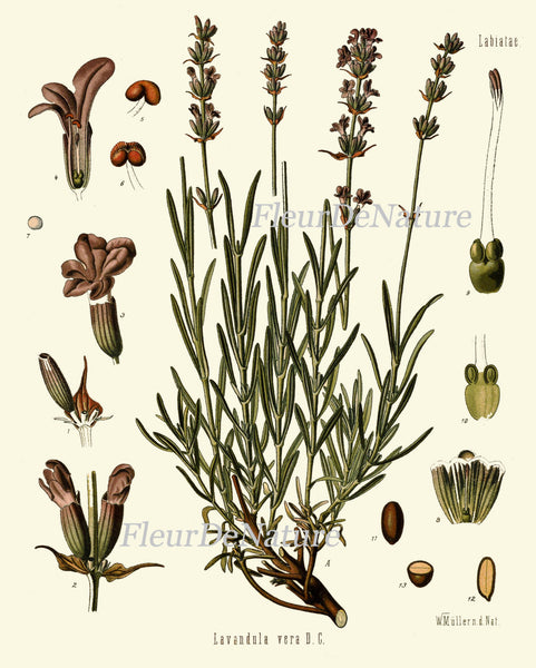 Lavender Botanical Art Print Kohler Herb Spice 8x10 Art 6 Beautiful Antique Flower Plant Chart French Country Provencal Home Wall Decor
