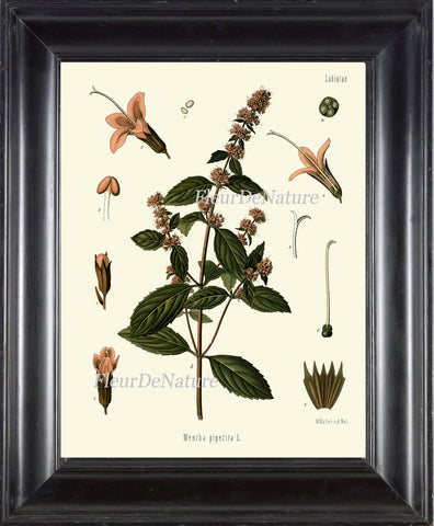 Peppermint Botanical Art Print Kohler Herb Spice 8x10 Art 4 Beautiful Antique Graden Plant Chart Country Green Garden Wall Kitchen Decor
