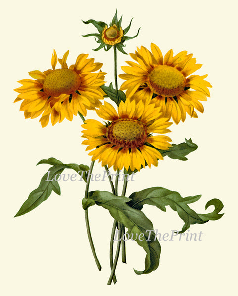 Botanical Print Set of 3 Art  Redoute Antique Beautiful Yellow Blanket Flower Wall Flower Iris Daisy Garden Plants Home Room Wall Decor