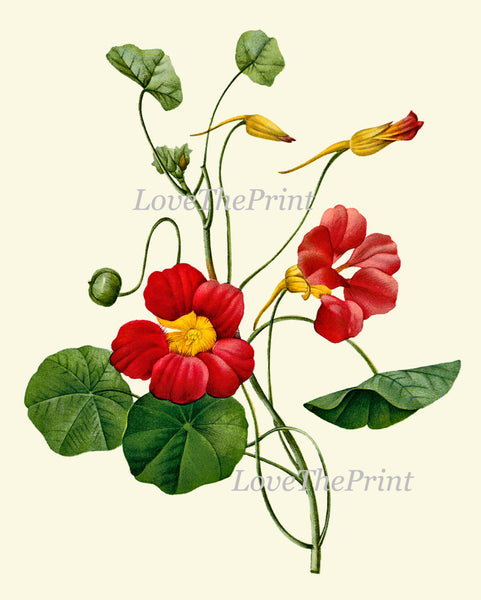 Botanical Print Set of 4 Art  Redoute Antique Beautiful Red Sweetbriar Rose Avens Nasturtium Marigold French Garden Home Room Wall Decor