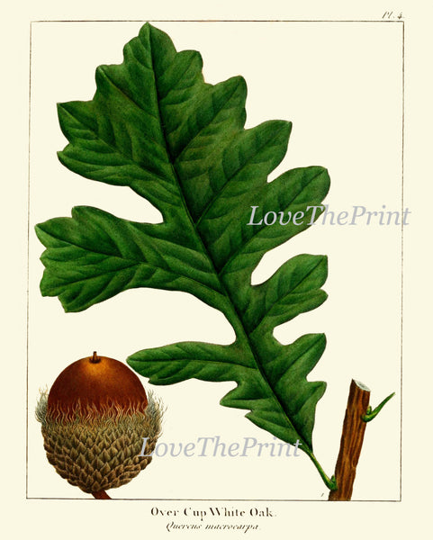 Botanical Print Set of 3 Art  Redoute Antique Beautiful Acorn Tree Branch Green Leaf Nuts Forest Tree Nature Home Room Wall Decor