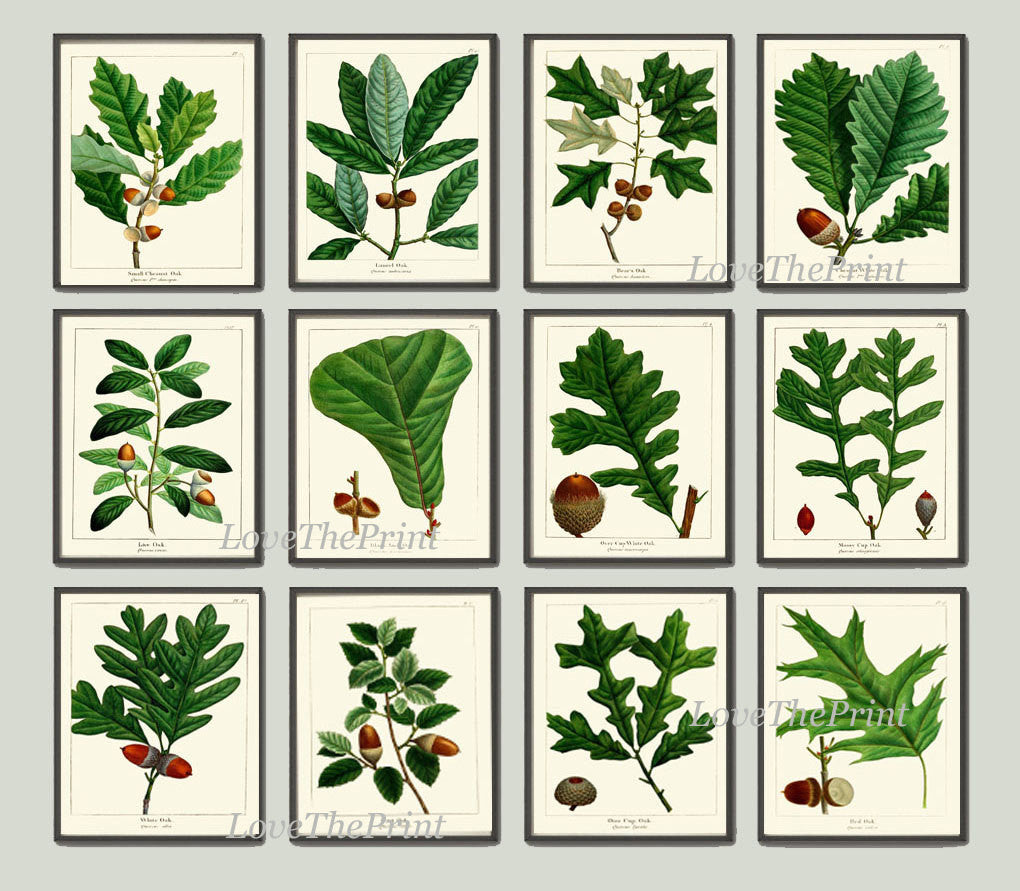 Botanical Print Set of 12 Art  Redoute Antique Beautiful Acorn Tree Branch Green Leaf Nuts Forest Tree Nature Home Room Wall Decor