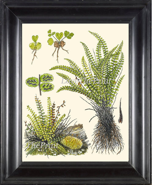 ANTIQUE FERN Lindman  Botanical Art Print 2 Antique Beautiful Green Ferns Forest Nature Natural Science to Frame Wall Decor