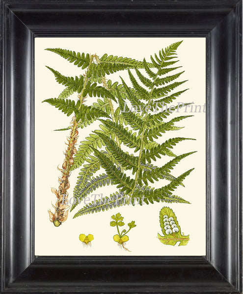 Antique Fern Art Print 7 Lindman  Botanical Antique Beautiful Green Ferns Forest Nature Natural Science Poster Chart to Frame Wall Decor
