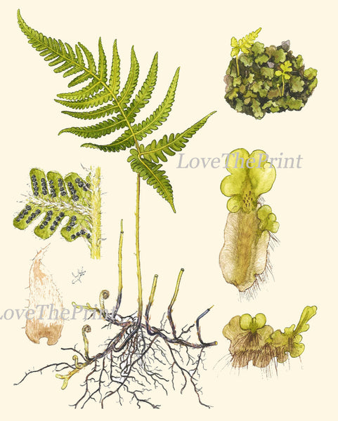 Antique Fern Art Print 9 Lindman  Botanical Antique Beautiful Green Ferns Forest Nature Book Plate Picture Chart to Frame Wall Decor
