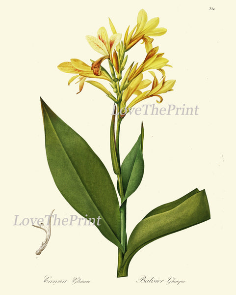 BOTANICAL PRINT Redoute Flower  Botanical Art Print 179 Yellow Canna Lily Tropical Plant Garden Nature Wall Home Room Decor to Frame