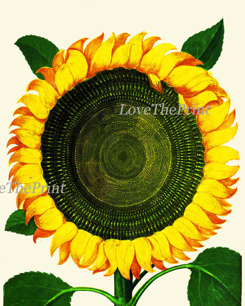 Italian Sunflower Art Print 51 Garden Aldrovandi   Botanical Antique Beautiful Large Flower Kitchen Didning Room Home Decoration