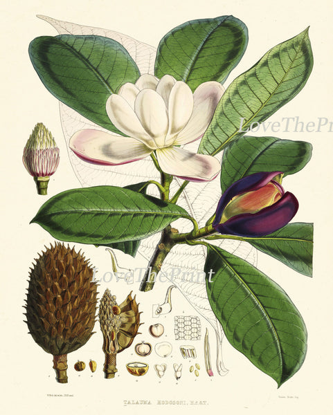 Magnolia Botanical Print Set of 3 Art  Antique Beautiful Flowers Pink White Blooming Tree Branch Green Home Room Wall Decor to Frame