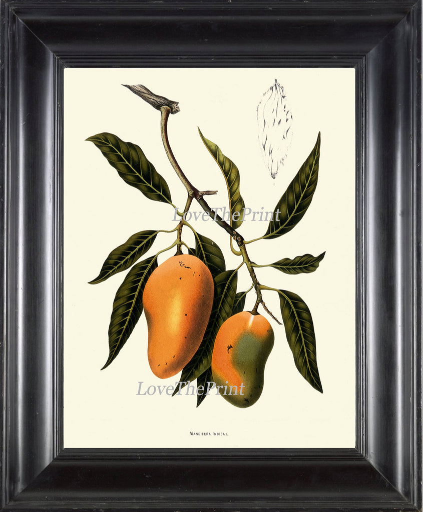 Mango Fruit Art Print 33 Botanical Beautiful  Tree Plant Tropical Island Summer Garden Home Illustration Room Wall Decor to Frame BHN