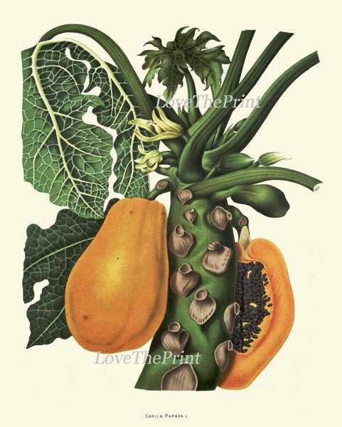 Papaya Fruit Print 43 Botanical Art Tropical Beautiful Large  Tree Edible Plant Chart Picture Kitchen Dining Room Home Wall Decor BHN