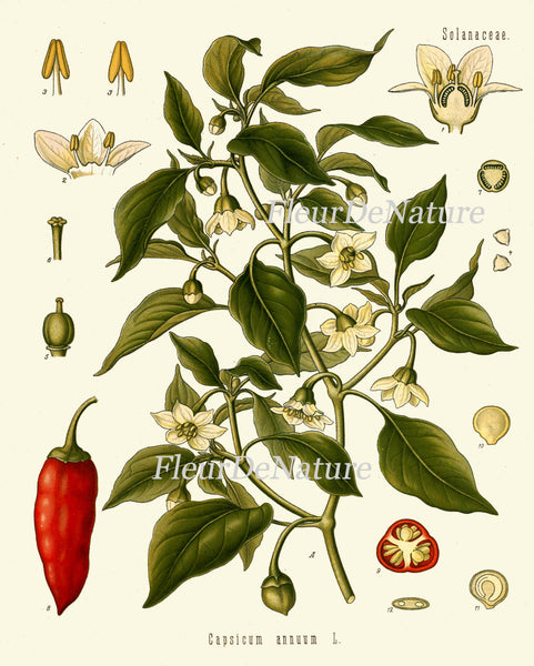 Sweet and Chili Peppers Botanical Art Print 16 Kohler 8x10 Beautiful Antique Herb Spice Red White Flowers Plant Green Garden  Plant Chart