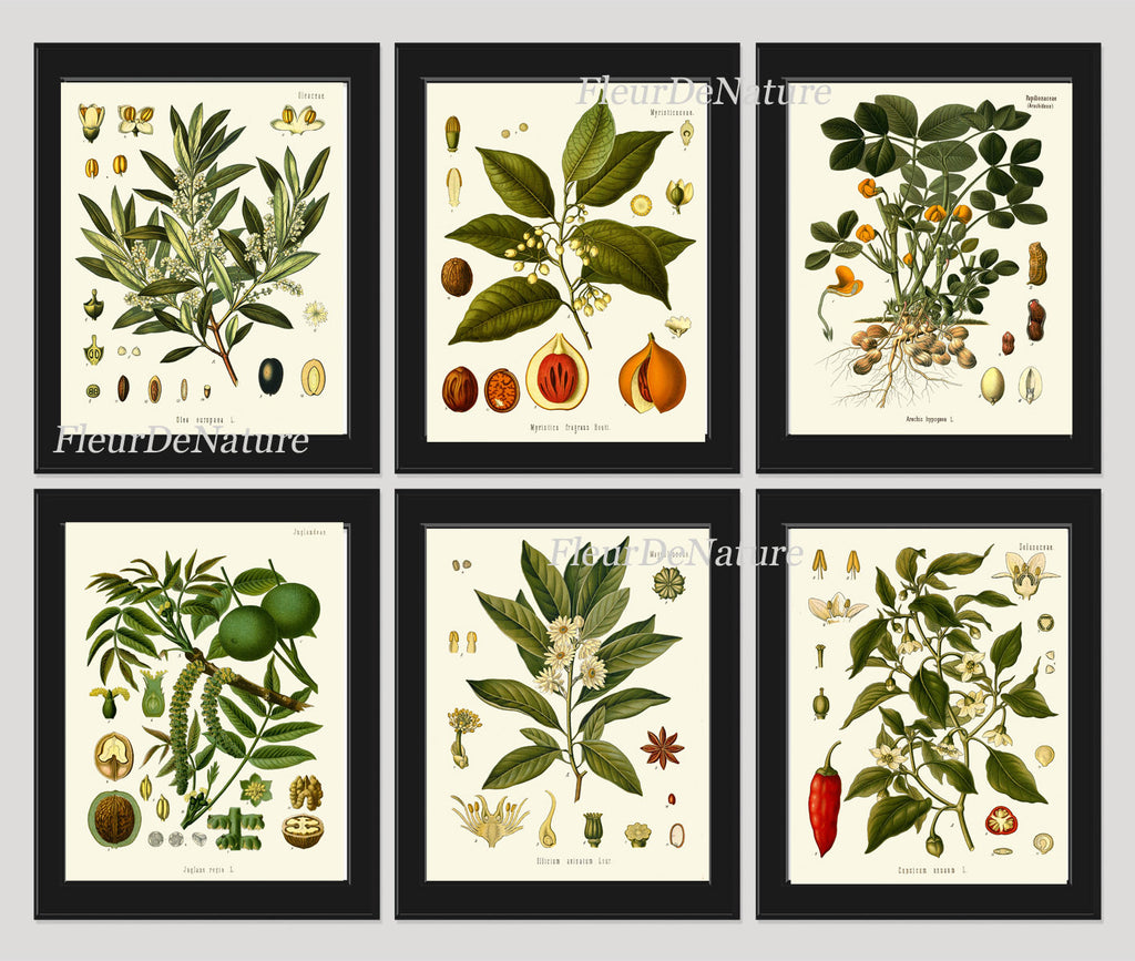 Herb Spice Botanical Set of 6 Art Prints 8x10 Antique Kohler Beautiful Herbs and Spices Nuts Walnut Chili Pepper Olive Peanut Nutmeg Anese