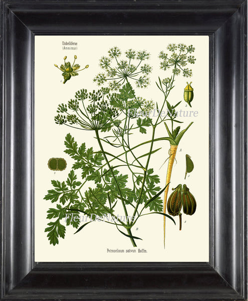 Parsley Botanical Art Print Kohler Herb 8x10 Art 19 Beautiful Antique Vintage Plant Seeds Chart Cooking Book Plate Home Kitchen Wall Decor