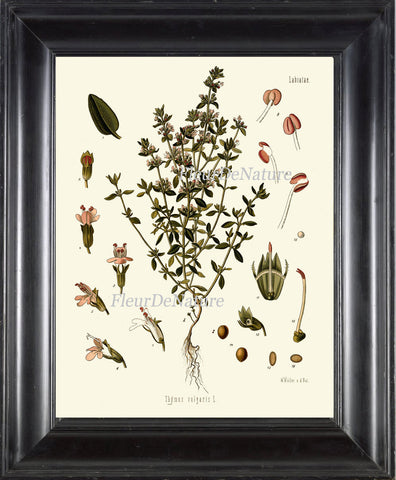 Garden Thyme Botanical Art Print Kohler Herb Spice 8x10 Art 7 Beautiful Antique Plant Seeds Chart Cooking Dining Room Home Kitchen Decor