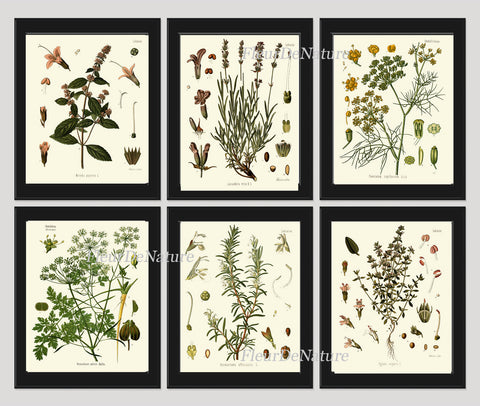 Herb Spice Botanical Set of 6 Art Prints 8x10 Antique Kohler Beautiful Herbs and Spices Peppermint Lavender Fennel Parsley Rosemary Thyme