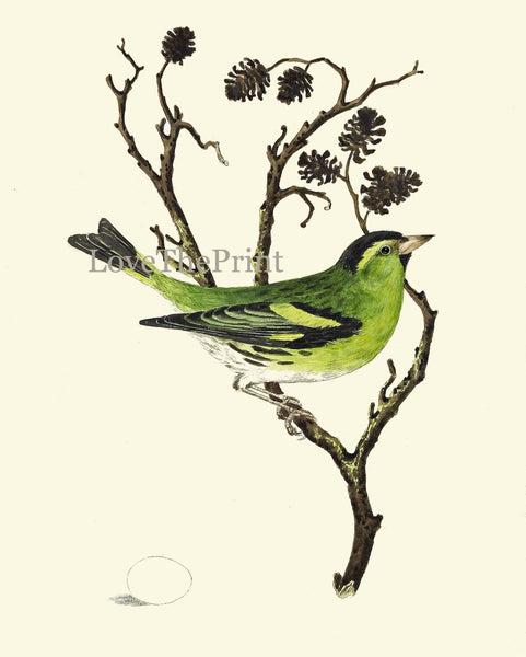 Beautiful Bird Egg Print Art 8 Beautiful Songbird Green Tree Branch Natral Science Bookplate Green Nature Wall Home Room Decor to Frame CJ