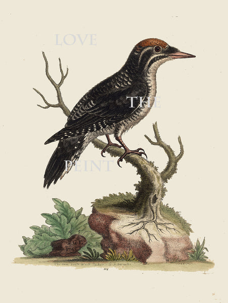 BIRD PRINT Edwards 8x10 Art Print 2 Beautiful Antique Three Toed Woodpecker Bird Nature to Frame Home Decoration Wall Hanging