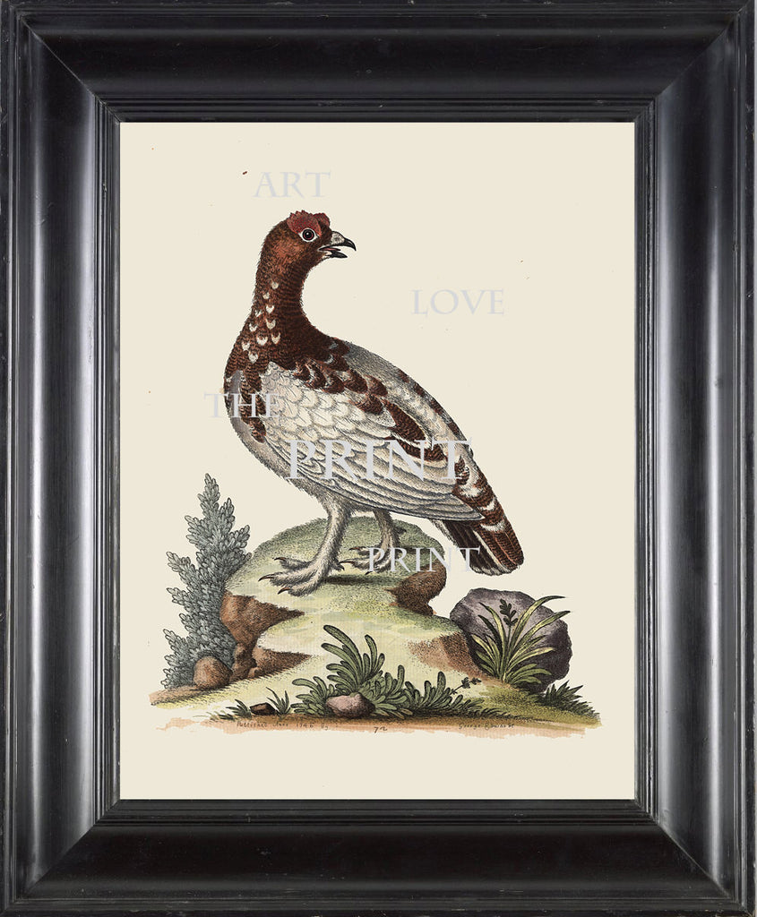 BIRD PRINT Edwards  Art Print 3 Beautiful Antique White Partridge Bird Nature to Frame Home Decoration Wall Hanging