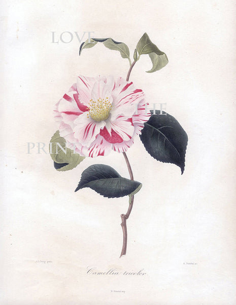 CAMELLIA PRINT Berlese  Art Print 3 Beautiful Camellia Tricolor Flower Garden Nature Botanical Print to Frame