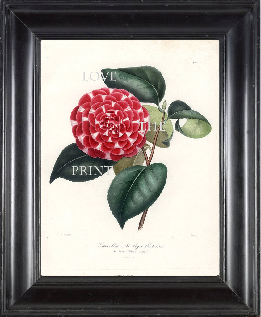 CAMELLIA PRINT Berlese  Art Print 28 Beautiful Red Camellia Presleys Victoria Spring Summer Flower Garden Nature Botanical Print