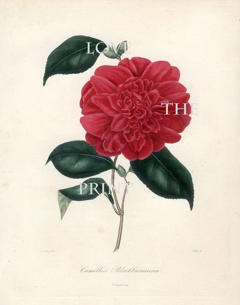 CAMELLIA PRINT Berlese  Art Print 17 Beautiful Camellia Blackburniana Spring Summer Flower Garden Nature Botanical Print
