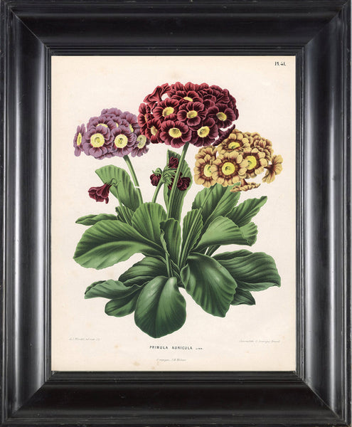 BOTANICAL PRINT WITTE  Botanical Art Print 9 Bear's Ear Gorgeous Burgundy Pink Yellow Flower Plant Frameable Wall Art Decoration