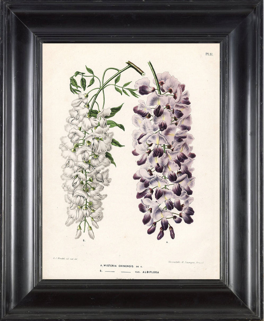 BOTANICAL PRINT WITTE  Botanical Art Print 2 Antique Multicolored Chinese Wisteria White and Purple Violet Flowers Spring Tree Plant