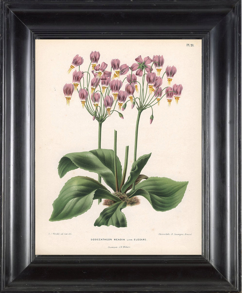 BOTANICAL PRINT WITTE  Botanical Art Print 6 Shooting Star Pink Flowers Beautiful Green Leaf Ivory Background to Frame
