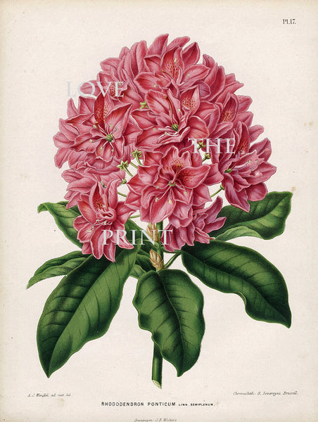 BOTANICAL PRINT WITTE  Botanical Art Print 5 Phontic Rhododendron Beautiful Pink Flower Plant Garden Nature to Frame Room Decor