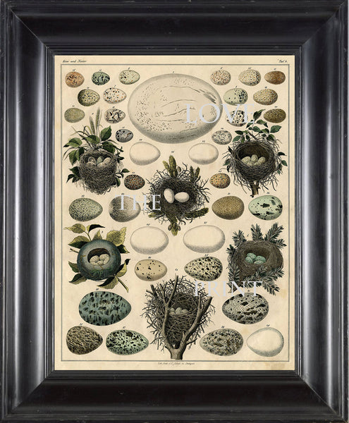 BIRD EGGS NEST  Art Print C1 Beautiful Antique Bird Eggs and Nests on Ivory Decoration Wall Hanging