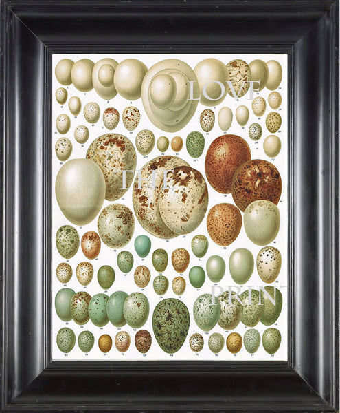 BIRD EGGS  Art Print C3 Beautiful Antique Bird Eggs Aqua White Golden Brown Chart Decoration Wall Hanging