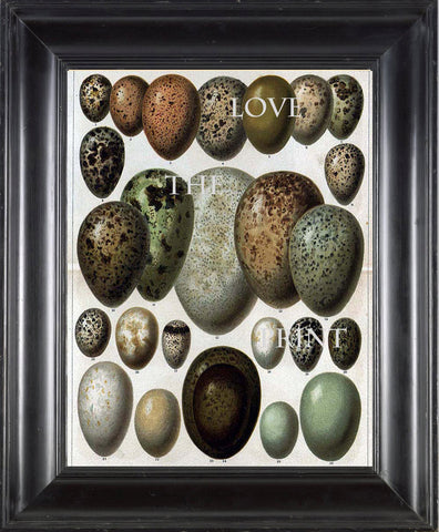 BIRD EGGS  Art Print C2 Beautiful Antique Bird Eggs Aqua White Golden Brown Chart Decoration Wall Hanging