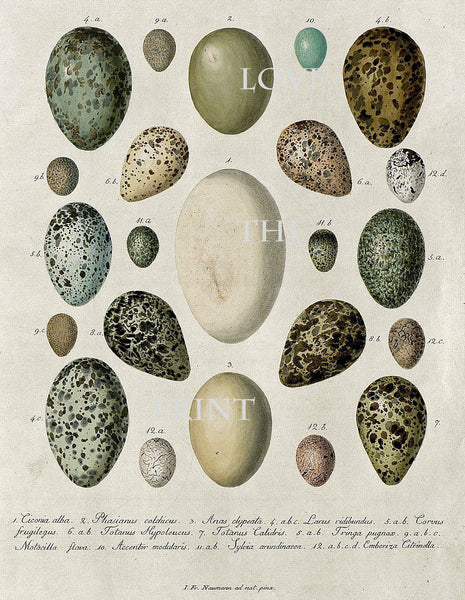 BIRD EGGS  Art Print C6 Beautiful Antique Bird Eggs Aqua White Golden Brown Chart Decoration Wall Hanging