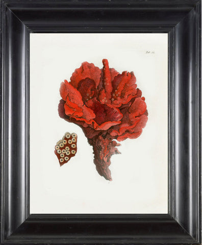 CORAL PRINT Ellis  Art Print 1 Beautiful Antique Sea Ocean Red Coral Nature to Frame Home Decoration Wall Hanging