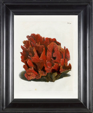CORAL PRINT Ellis  Art Print 2 Beautiful Antique Sea Ocean Red Coral Nature to Frame Home Decoration Wall Hanging