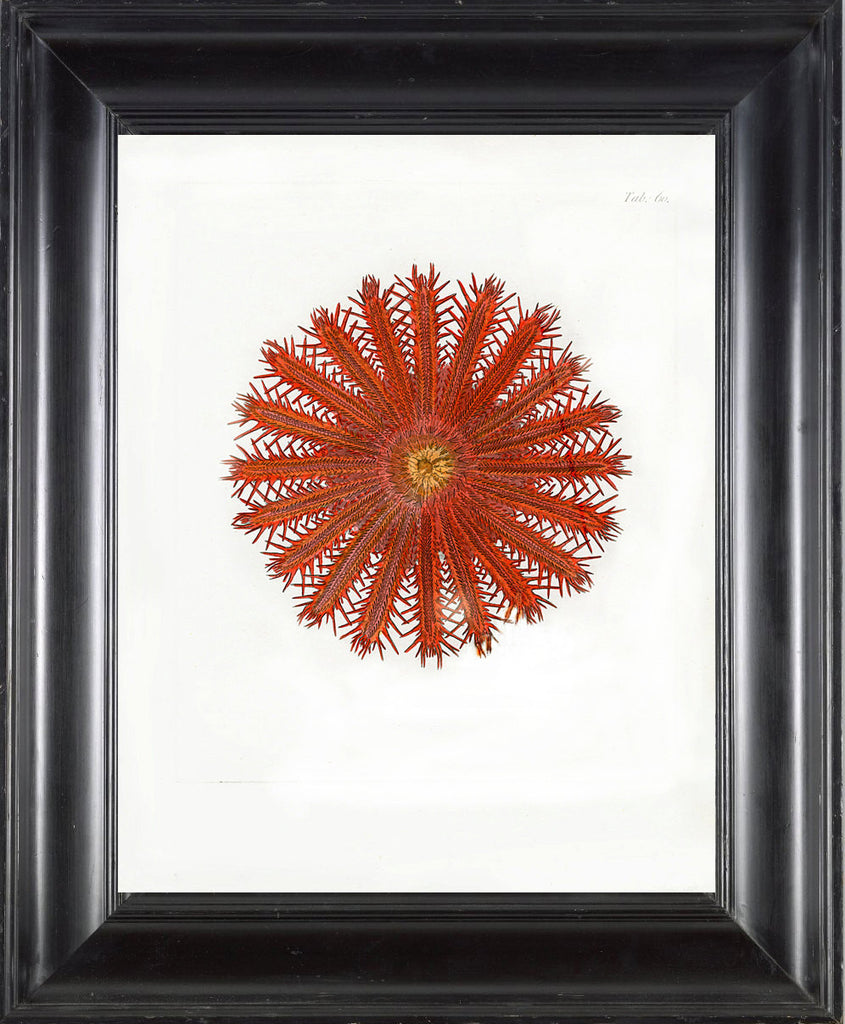 CORAL PRINT Ellis  Art Print 4 Beautiful Antique Sea Ocean Red Coral Nature to Frame Home Decoration Wall Hanging