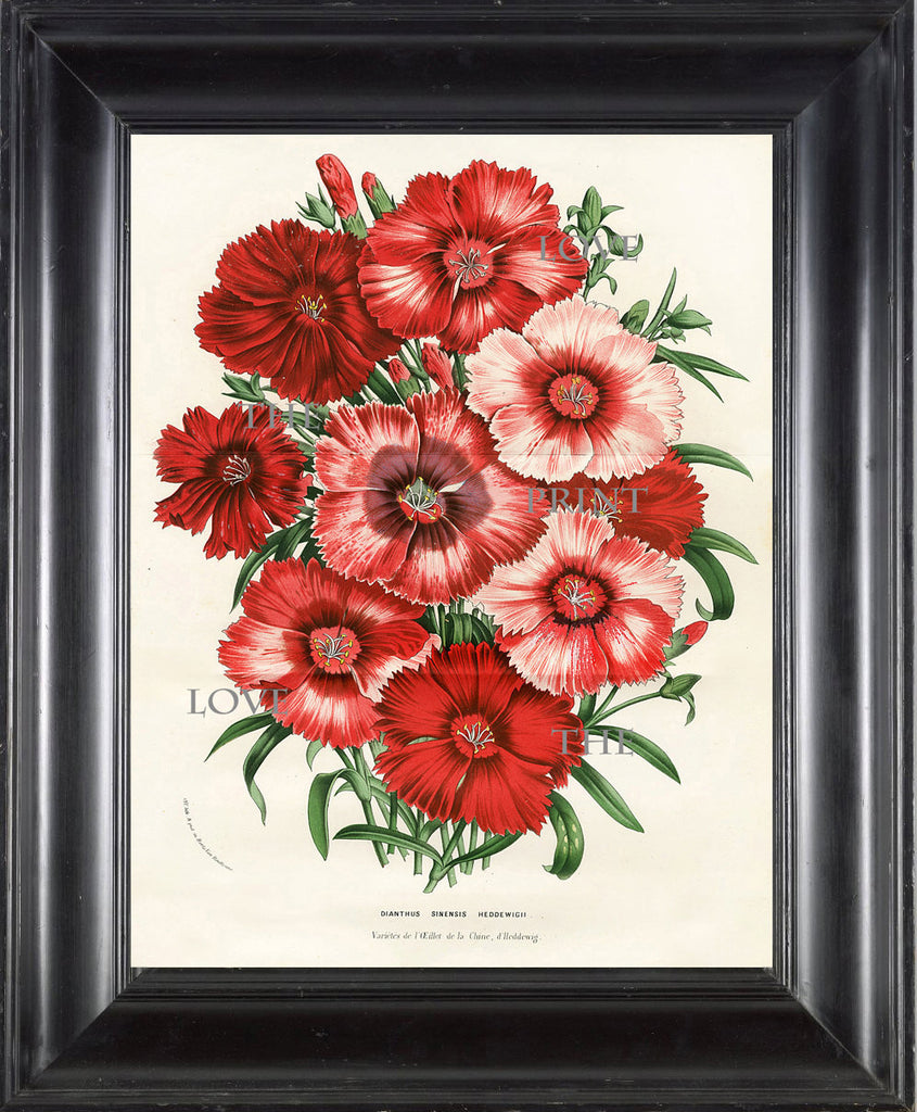 BOTANICAL PRINT HOUTTE  Botanical Art Print 1 Dianthus Sinensis Heddewigii Beautiful Red Pink Flowers Garden Summer Nature Wall Art