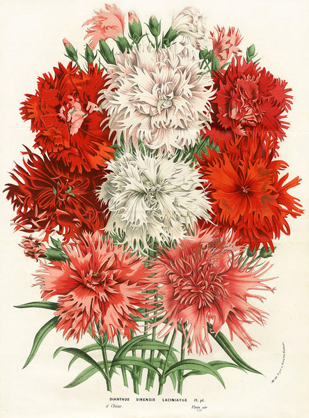 BOTANICAL PRINT HOUTTE  Botanical Art Print 2 Beautiful Carnations in Pink White Red  Dianthus Sinensis Laciniatus Pink Flowers Garden