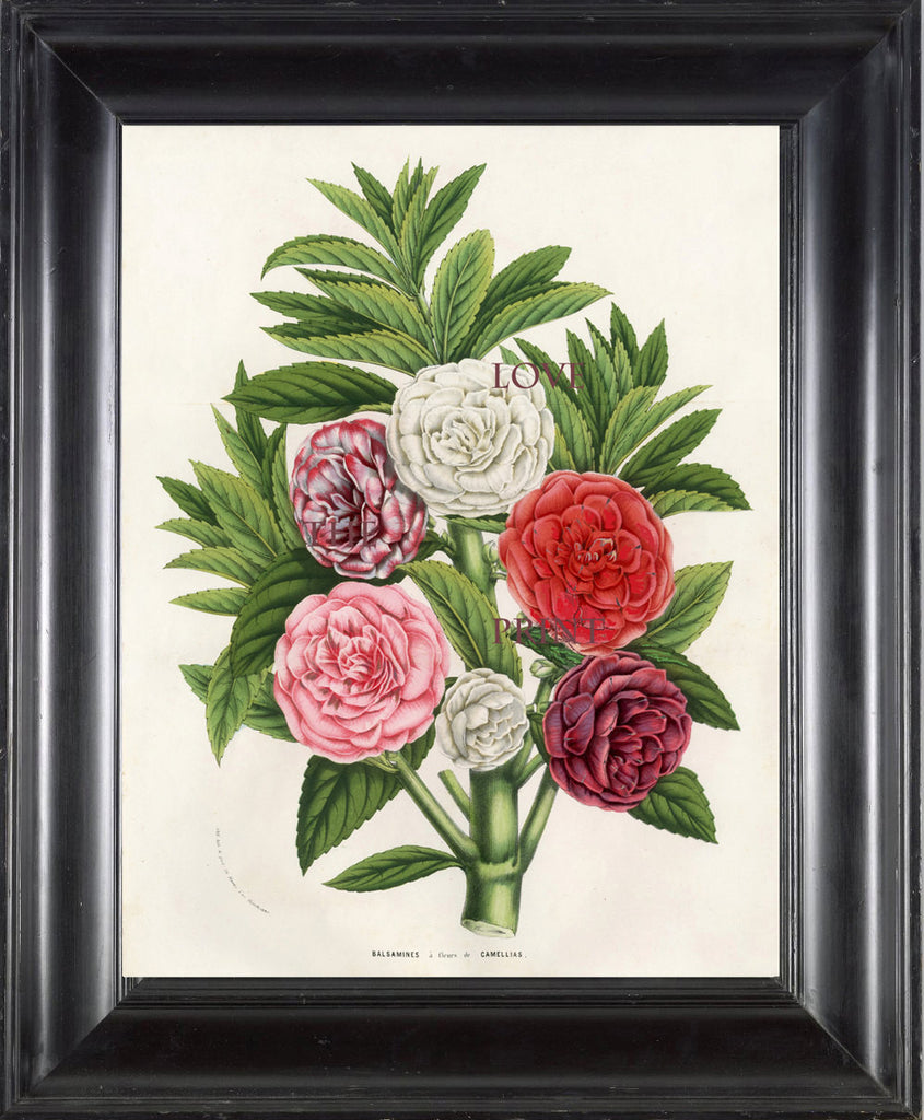 BOTANICAL PRINT HOUTTE  Botanical Art Print 5 Beautiful Balsamines in Pink White Red Flower Spring Summer Garden Plant