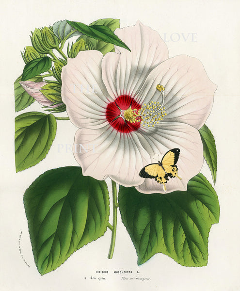BOTANICAL PRINT HOUTTE  Botanical Art Print 3 White Hibiscus Moscheutos Butterfly Flowers Tropical Garden