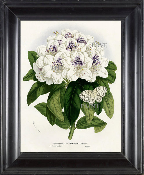BOTANICAL PRINT HOUTTE  Botanical Art Print 17 Beautiful Rhododendron Large White Flower  Butterfly