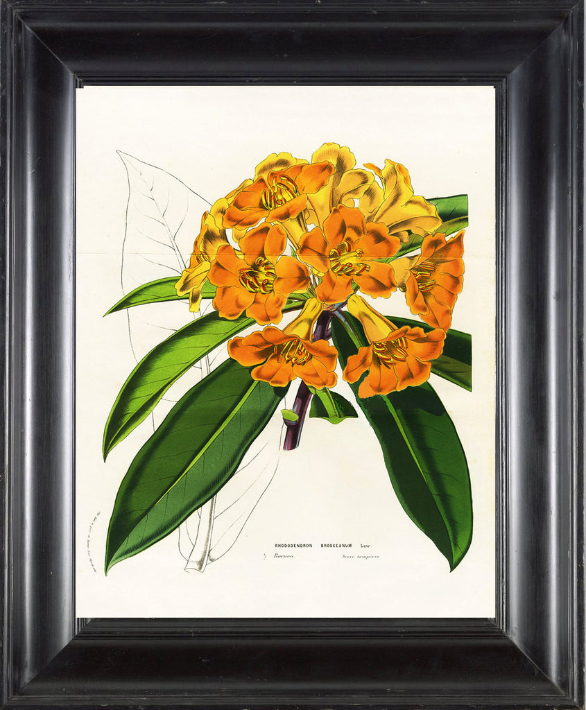 BOTANICAL PRINT HOUTTE  Botanical Art Print 27 Beautiful Yellow Rhododendron Large Flower Home Wall Decoration to Frame