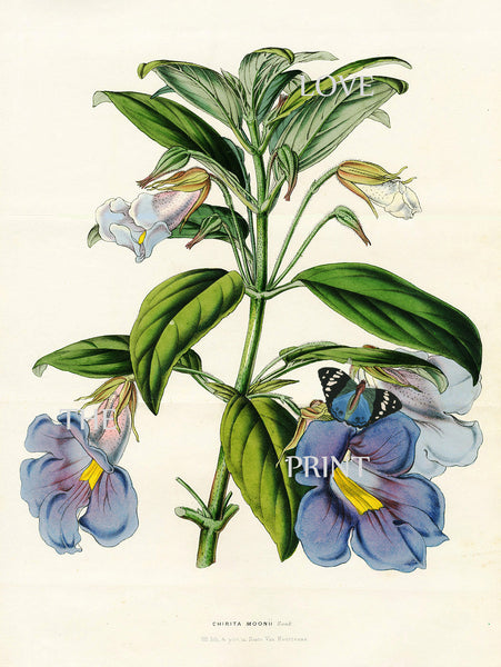 BOTANICAL PRINT HOUTTE  Botanical Art Print 21 Beautiful Blue Chirita Moon Flower Home Wall Decoration to Frame