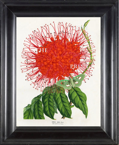 BOTANICAL PRINT HOUTTE  Botanical Art Print 23 Beautiful Red Jonesia Asoca Flower Green Butterfly Home Wall Decoration to Frame