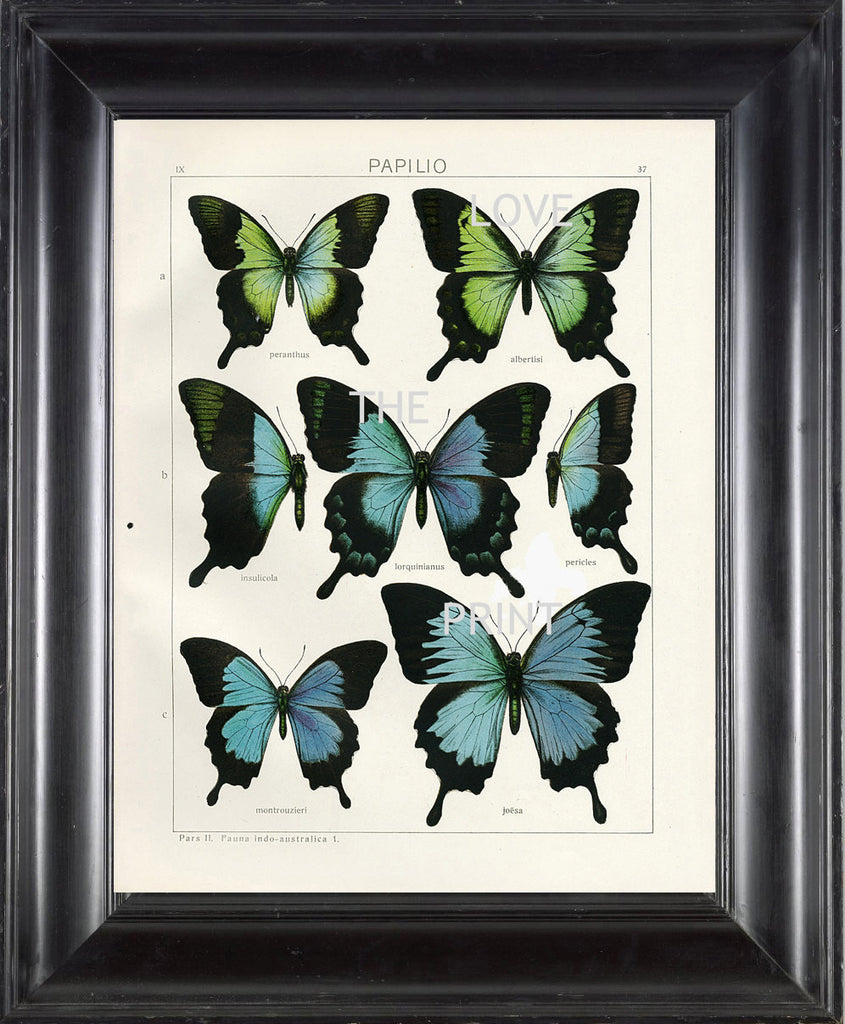 BUTTERFLY PRINT SEITZ  Botanical Art Print 2 Beautiful  Blue Green Butterflies Lorquinianus Insulicola and Montrouzierit