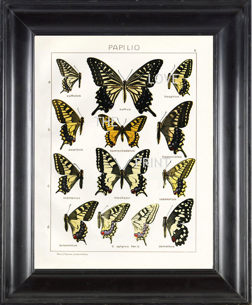 BUTTERFLY PRINT SEITZ  Botanical Art Print 3 Beautiful Butterflies  Xuthus Machaon and Montanus Yellow Summer Garden Nature